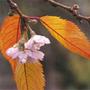 Prunus x subhirtella 'Autumnalis Rosea' (pink autumn cherry)