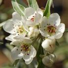 Pyrus calleryana 'Chanticleer' (pear)
