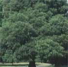 Quercus ilex (holm oak)