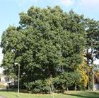 Quercus robur (common oak)