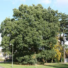 Quercus robur (common oak)