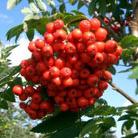 Sorbus aucuparia (rowan)