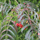 Sorbus 'Chinese Lace' (rowan)