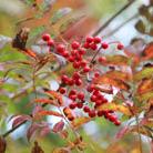 Sorbus commixta 'Embley' (scarlet rowan)