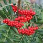 Sorbus commixta (rowan)