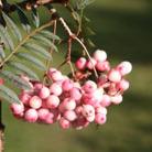 Sorbus vilmorinii (vilmorin rowan)
