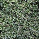 Crataegus monogyna (common hawthorn   hedging range)
