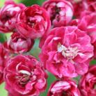 Crataegus laevigata 'Paul's Scarlet' (midland hawthorn)