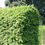 Carpinus betulus (common hornbeam   hedging range)