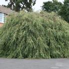 Betula pendula 'Youngii' (Young's weeping birch)