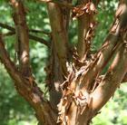 Acer griseum (paper bark maple)