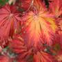 Acer japonicum 'Aconitifolium' (full moon maple)