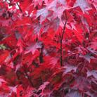 Acer palmatum 'Atropurpureum' (Japanese maple)