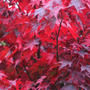 Acer palmatum &#x27;Atropurpureum&#x27; (Japanese maple)