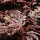 Acer palmatum 'Bloodgood' (Japanese maple)