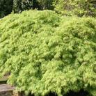 Acer palmatum var. dissectum (Japanese maple)