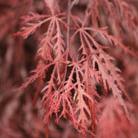 Acer palmatum var. dissectum 'Garnet' (Japanese maple)