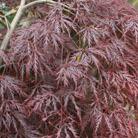 Acer palmatum var. dissectum 'Inaba shidare' (Japanese maple)