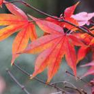 Acer palmatum 'Osakazuki' (Japanese maple)