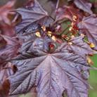 Acer platanoides 'Crimson King' (Norway maple)