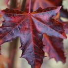 Acer platanoides 'Crimson Sentry' (Norway maple)