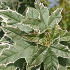 Acer platanoides 'Drummondii' (Norway maple)