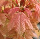 Acer pseudoplatanus 'Brilliantissimum' (maple)