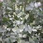 Eucalyptus gunnii (cider gum)