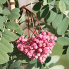 Sorbus hupehensis 'Pink Pagoda' (rowan)