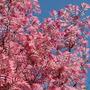Toona sinensis 'Flamingo' (Chinese mahogany)