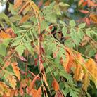 Koelreutaria paniculata 'Coral Sun' (china tree)