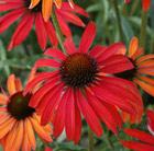 Echinacea 'Hot Summer' (coneflower)
