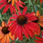 Echinacea 'Hot Summer' (coneflower)
