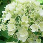 Hydrangea paniculata 'Bombshell' (hydrangea)