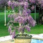 Wisteria Amethyst Falls - 1 pot plant