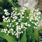 Autumn Bulbs-Lily of the Valley Convallaria Majalis - 30 Pips