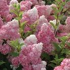 Hydrangea Paniculata Vanilla Fraise - 3 Plants