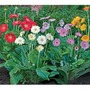 Gerbera Forever Daisies Collection - 5 plug plants