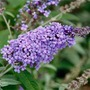 Buddleja Buzz -3 plug plants