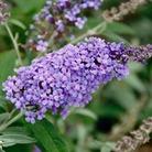 Buddleja Buzz Lavender - 1 plug plant