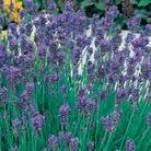 Lavender Munstead - 5 pots