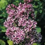 Syringa (Lilac) Collection - 3 plug plants