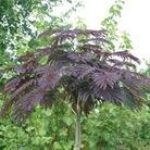 Autumn Plants - Albizia Summer Chocolate - 1 pot plant
