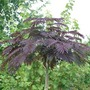 Autumn Plants - Albizia Summer Chocolate - 1 pot plant