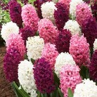 Hyacinth Berry Crush - 10 bulbs