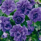 Autumn Plants-Geranium Hardy Doubles Collection - 3 bareroot plants