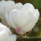 Magnolia Jade Lamp - 1 bareroot plant