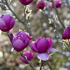 Magnolia Black Tulip - 1 bareroot plant
