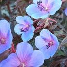 Geranium Midnight Blues - 6 jumbo plants