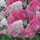 Hydrangea Paniculata Vanilla Fraise - 1 pot plant